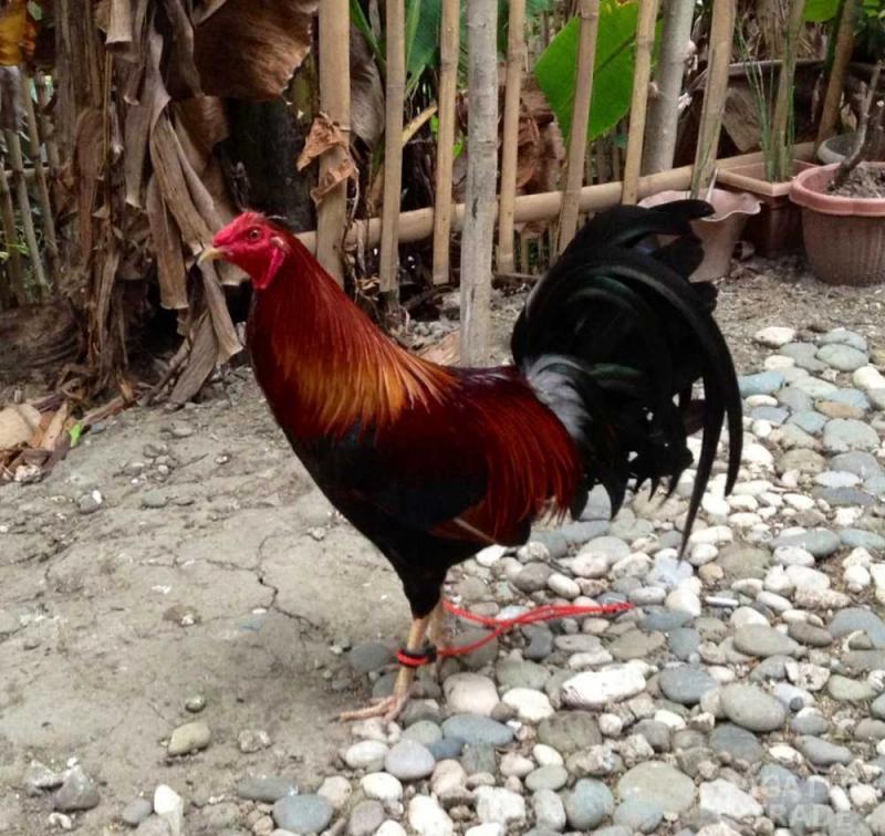 Rooster Sponge Holder Fighting Cock Bird Philippines